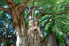 Avatar World (kcezary) Tags: tree tourism canon mexico holidays places oaxaca  canonprimelens rboldeltule canon5dmkii