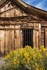 Bodie building with flowers (Xiphoid8) Tags: old abandoned decay rustic ghosttown bodie yellowflowers sagebrush splinters bodieghosttown monocounty abandonedtown bodiecalifornia bodieca goldtown monocountyca splinteredboards