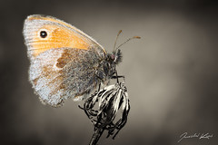 Coenonympha pamphilus / Small Heath / Ok pohkov (Jaroslav Kaas) Tags: portrait brown white black art animals canon insects lepidoptera arthropods animalia arthropoda insecta nymphalidae bilateria brushfoots butterfliesandmoths taxonomy:class=insecta taxonomy:order=lepidoptera taxonomy:family=nymphalidae taxonomy:kingdom=animalia taxonomy:phylum=arthropoda taxonomy:subclass=pterygota taxonomy:superfamily=papilionoidea camera:make=canon exif:make=canon exif:iso_speed=200 exif:aperture=f8 taxonomy:binomial=coenonymphapamphilus taxonomy:genus=coenonympha taxonomy:infraclass=neoptera taxonomy:subphylum=hexapoda exif:flash=off camera:model=canoneos7d exif:model=canoneos7d taxonomy:subfamily=satyrinae taxonomy:species=pamphilus taxonomy:division=bilateria taxonomy:subdivision=protostomia taxonomy:subkingdom=eumetazoa taxonomy:suborder=glossata taxonomy:infraorder=heteroneura exif:exposure=1250sec exif:lens=canonef100mmf28lmacroisusm exif:tripod=off taxonomy:tribe=satyrini taxonomy:cohort=holometabola taxonomy:falanga=ditrysia original:filename=img24301jpg taxonomy:subtribe=coenonymphina