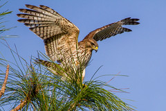 bird florida explore fir naples juvenile redshoulderedhawk buteolineatus naturethroughthelens hennysanimals andymorffew morffew