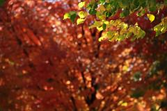 future (bimurto) Tags: autumn trees light red orange color tree green fall leaves sunshine yellow canon season leaf day fallcolor foliage rays t2i