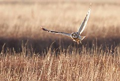 Short Eared Owl (arthurpolly) Tags: bird nature birds photoshop canon eos coast countryside cheshire feeding wildlife flight elements owl dee avian birdsofprey potofgold topshot naturesfinest blueribbonwinner shortearedowl greatshots lowflying 100400is 50d supershot topshots 5photosaday beautifulphoto passionphotography abigfave platinumphoto anawesomeshot avianexcellence diamondclassphotographer flickrdiamond theunforgettablepictures brillianteyejewel unforgettablepictures goldwildlife goldstaraward natureselegantshots rubyphotographer 5halloffame goldenheartaward 100commentgroup dragondaggerphoto dragondaggeraward flickrclassique dragonsdanger birdperfect