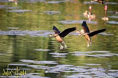 Aces Duo (SelimAzad) Tags: birds flying duo pair buddy migratory dhaka ju bangladesh aces savar