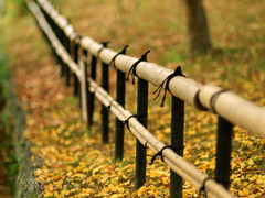 Fence in Autumn (Marie Eve K.A. (Away)) Tags: travel autumn tree fall nature japan zeiss fence temple ginkgo kyoto dof bokeh f14 85mm bamboo olympuspen fallenleaves planar ep2 shinnyodo shinshogokurakuji