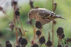 Pine Siskin (Spinus pinus)-0759.jpg (Janet M. Heintz / Photography & Digital Art) Tags: fall pine pennsylvania seed blackeyed siskin avain susanyellow