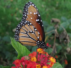 Lantana queen (Bryan - oz4caster) Tags: intheneighborhood danausgilippus queenbutterfly nymphalidaefamily lantanabloom
