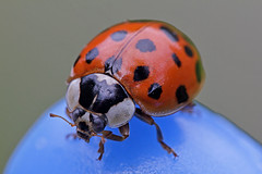 IMG_2717-01n (wim_z) Tags: macro nature animals closeup insect beetle insects ladybird dcr250 raynox harmoniaaxyridis 550d canonef100mmf28lisusm