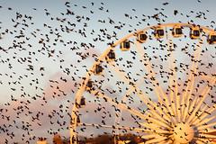 Behind the Wheel (Alan MacKenzie) Tags: wheel wings brighton flight ferriswheel bigwheel starlings moot starlingmurmuration brightonwheel starlingmoot