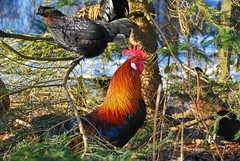 8/12.2012 (julochka) Tags: chickens mixed rooster postcardtoblogcamp dansklandhns svensksortehns 366the2012edition