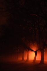 row of trees in fog (andymudrak) Tags: orange tree fog night plantlife
