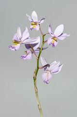 Barkeria whartoniana - 2012-12-09-_DSC3929 (jakobae) Tags: tag herbst pflanzen orchidaceae gewchshaus orchideen grten greenhaus bltenpflanzen spermatophyta samenpflanzen infloreszenz magnoliophytina bedecktsamigepflanzen 01jakob gartenundgewchshauspflutiere bltenstandblten gartenundgewchshaus pflutiere angiospermaebedecktsamige barkeriawarthonianabtyp7gekfeb2011inbern