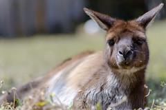 Australie - Kangaroo Island - Sieste sur l'herbe (jf garbez) Tags: voyage travel nature animal animals nikon wildlife australia kangaroo nikkor 70300mm animaux marsupial southaustralia kangarooisland nationalgeographic australie oceania faune d600 kangourou parndana marsupialia océanie nikond600 australieméridionale nikonpassion nikonflickraward mygearandme mygearandmepremium nikkor7003000mmf4556 ringexcellence dblringexcellence îlekangourou
