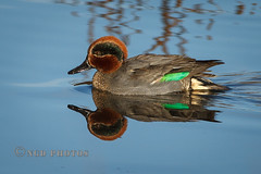 Teal (Novisteel) Tags: winter birds flickr wildlife places moorgreen ngdphotos