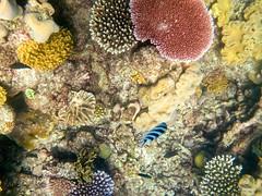 W-IMG_2774 (baroudeuses_voyage) Tags: ocean sea coral oz australia diving snorkeling cairns reef greatbarrierreef cay eastcoast australie atoll gbr michaelmascay oceanspirit grandebarrieredecorail