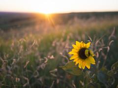 Badlands Sunflower Sunset (RobertCross1 (off and on)) Tags: badlands omd southdakota sd sunset flower sunflower grass landscape badlandsnationalpark sun usa 20mmf17panasonic