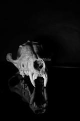 Fox Skull (8)_marked (LewisWhitePhotos) Tags: fox skull dead skeleton bones studio blackandwhite studioshoot studiophoto creepy foxskull unusual photo photography picture reflection detail scary studiosetup setup monochrome black background surreal indoor