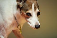 My pet (koutakuokumura) Tags:  dog pet eoskissx7 canon