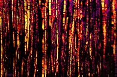 The Birch Wood (sbox) Tags: wood birch woodland abstract painting textures woods branches trees surreal