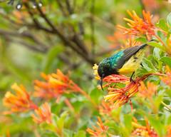 Variable Sunbird, Cinnyris venustus, Seldom Seen, Bvumba, Zimbabwe (Jeremy Smith Photography) Tags: bvumba cinnyrisvenustus jeremysmith jeremysmithphotographycouk jeremysmithphotographycom nectariniavenusta seldomseen variablesunbird yellowbelliedsunbird zimbabwe jeremysmithphotography