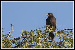 IMG_0051 Blackbird (scotchjohnnie) Tags: blackbird turdusmerula ukbirds birdphotography bird ornithology nature naturewildlifeandbirds northeastengland canon canoneos canon7dmkii canonef100400f4556lisiiusm scotchjohnnie