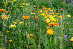 DSC_ 0072  -  Wild Flowers of Burnley Wood (SWJuk) Tags: swjuk uk unitedkingdom gb britain england lancashire burnley home flowers wildflowers derelict reclamation terracedhouses 2016 jul2016 summer nikon d7100 nikond7100 nikkor60mm rawnef lightroom