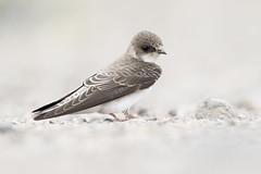 Bank Swallow Portrait (Jeff Dyck) Tags: bank swallow bankswallow ripariariparia vanderhoof stoneycreek saikuz bc britishcolumbia gravel pebble birds jeffdyck