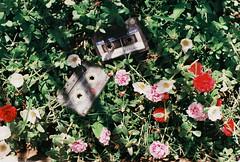 000003e (Hunh Thanh Thng) Tags: film canon ft vit nam viet hoa flower nha trang cassette fujifilm xtra 400