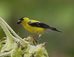 American Goldfinch, male (AllHarts) Tags: maleamericangoldfinch shelbyfarmsparkpublicgardens memphistn naturescarousel ngc npc