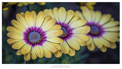 Just we Three (Dave Whiteman - AU) Tags: africandaisy daisy flower osteospermum