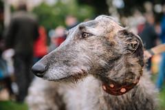 750_3725.jpg (KevinAirs) Tags: dogs scottishdeerhoundcross march greyhounds pets animals protest greyhoundracing animalrights sydney newsouthwales australia au availabletobuyatwwwkaozcomau twitter kevinairs