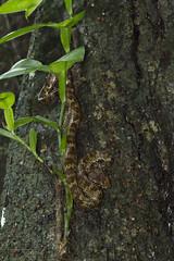 Malabar Pit Viper (Atul Vartak) Tags: trimeresurus malabaricus malabar pitviper snake venomous haemotoxic