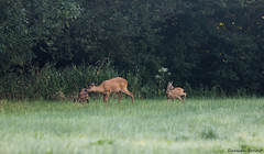 _88A0824 (dbvnk) Tags: nature wildlife animal chevreuil roedeer mammifre mammal canon 7dmarkii 300mmf28ii