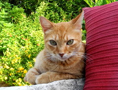Three and a half months of sadness .  .  . (pawightm (Patricia)) Tags: skipper orangecat gingercat orangetabby kittyloveofmylife missingsince42916 biggreeneyes drinkswithhispaws inmygarden austin texas centraltexas pawightm skipper72513rscn0410