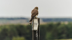 The Kestrel that Kept on Giving 1 (stevedewey2000) Tags: sony70300g birds bird birdofprey kestrel falcon bop raptor wiltshire salisburyplain sptacentre spta kenko14xtc