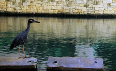 Yellow-Crowned Night Heron [[Explored]] (AlisAquilae) Tags: yellow crowned night heron bird water canal sitting reflections rock wall animals nature visiting travel texas canon canont1i