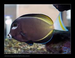 STEPacan-nigricans3570_070314 (kactusficus) Tags: marine aquarium trade reef acanthurus nigricans surgeonfish tang chirurgien acanthuridae