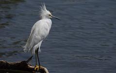 IMGP8562 (CatseyeGomez) Tags: nevada virginia lake bird reno snowy egret
