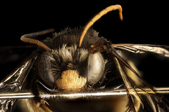 Melissodes bimaculata, m, face, Caroline Co. Maryland_2016-06-27-15.08 (Sam Droege) Tags: zerenestacker stackshot geologicalsurvey unitedstatesgeologicalsurvey departmentoftheinterior droege biml beeinventoryandmonitoringlaboratory bug bugs canon closeup macro insect patuxentwildliferesearchcenter pwrc usgs dofstacking stacking canonmpe65 taxonomy:binomial=melissodesbimaculata bee bees apoidea hymenoptera pollinator nativebee carolinecounty maryland black common yellow face looking visual lying