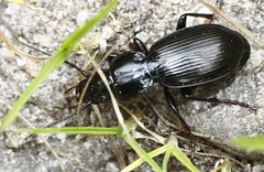 indet (14) carabidae (BSCG (Badenoch and Strathspey Conservation Group)) Tags: gos