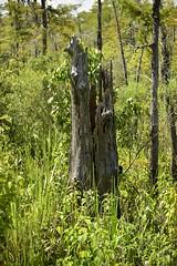 Fallen warrior (holdit.) Tags: tx texas visitorcenter swamp nature natural