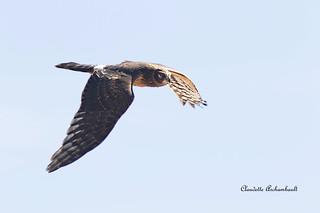Busard St-Martin mâle, Northern Harrier male