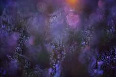 heather and erica (Bilderwense) Tags: natur nature colors colours colorful colourful dof shallow depth depthoffield tiefenunschärfe tiefenschärfe outdoor nikkor 50mm f18 nikon d5000 bokehrama bokeh smooth soft bokehlicious makro macro macrodreams macromonday schärfentiefe pflanze verschwommen blüte blume macromondays serene gras landschaft feld heide erica heather heath muir brunsberg sprötze buchholz nordheide deutschland germany northerngermany europe experimental september purple dawn country flora