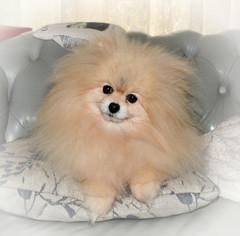 Trish (Ptolemy the Cat) Tags: trish pet dog pomeranian miniaturepomeranian toypomeranian vignette animal nikond600 nikonf282470mmlens