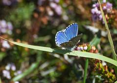 Adonis Blue Butterfly-_dsc0227 (mx5_jacky) Tags: adonisbluebutterfly butterfly blue spain basquecoast