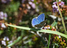 Adonis Blue Butterfly-_dsc0227 (mx5_jacky) Tags: adonisbluebutterfly butterfly blue spain basquecoast