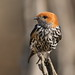 Lesser Striped Swallow, Cecropis abyssinica at Pilanesberg National Park, South Africa