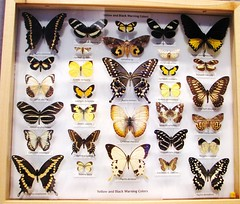 Yellow and black warning colors --  Butterfly Collection at University of Florida 9109 (Tangled Bank) Tags: florida museum natural history butterfly butterflies moth collection tray cabinet insect lepidoptera arthropod