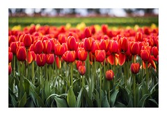 Stand Up Straight And Tall (red stilletto) Tags: tesselaartulipfestival tulip tulips red redtulips famousflickrfive