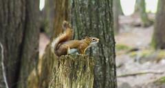 Warning (amndcook) Tags: michigan outdoors porcupinemountain animal hiking nature squirrel tree upperpeninsula wildlife