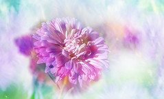 colorfully (augustynbatko) Tags: colorful flower garden autumn macro bokeh nature pastel plant blossom serene bright